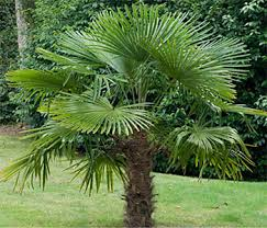 Palmier chamaerops humilis for Comment planter un palmier en pot